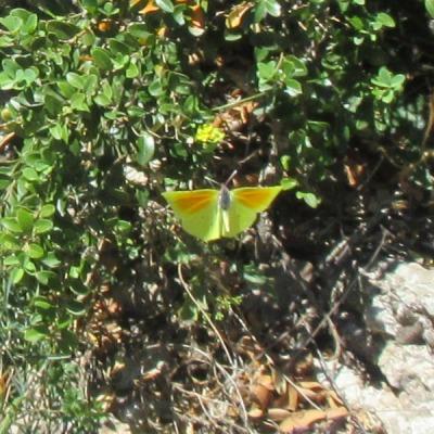 Yellow butterfly Montserrat